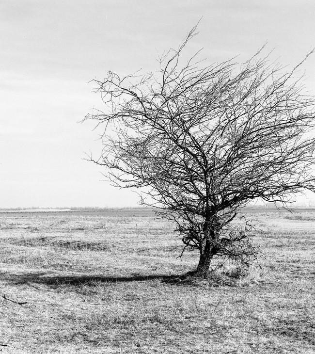 Landschaftsaufnahme im analogen Mittelformat einer Mamiya RB67 auf Ilford FP4 zeigt einen kahlen Baum im Naturschutzgebiet Nationalpark Seewinkel im Burgenland, Österreich, by Dominique Hammer Photography